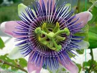 Pasiflora o Flor de la pasión: Propiedades y Beneficios para la salud