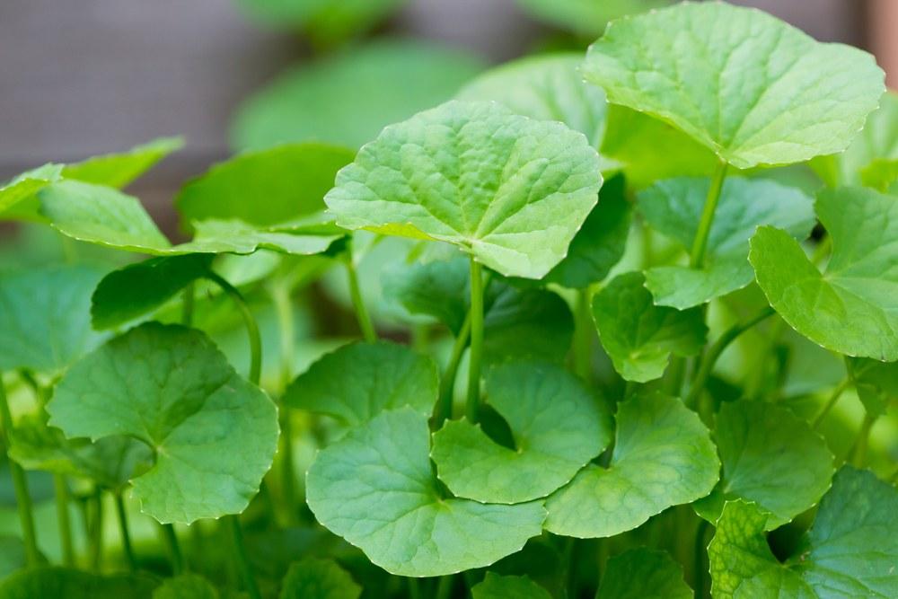 centella-asiatica-propiedades-y-beneficios-planta-curativa