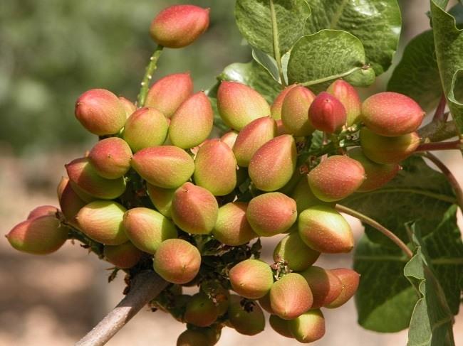 pistachos-propiedades-y-beneficios-arbol-de-pistacho
