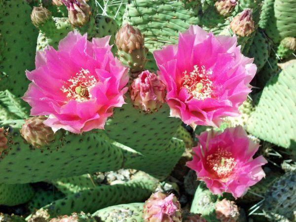 Las flores del Opuntia
