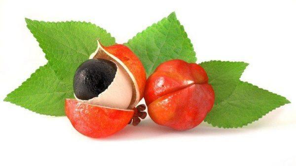 Guarana semilla y fruto cerrado