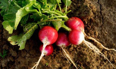 4-verduras-que-se-pueden-plantar-en-la-cosecha-de-otoño-rabanos