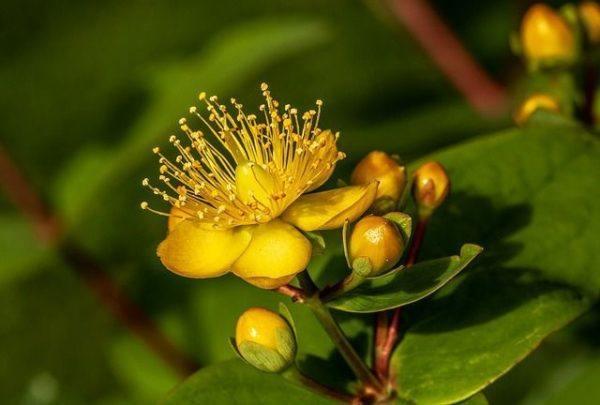 hierba-de-san-juan-o-artemisa-propiedades-medicinales-y-su-cultivo