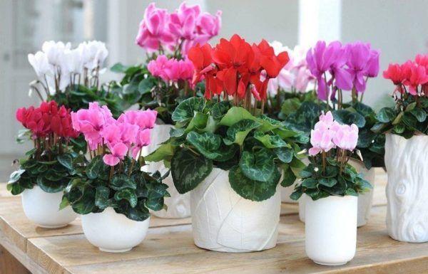 cuales-son-las-flores-de-invierno-ciclamen