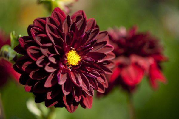 cuales-son-las-flores-de-otono-dalia