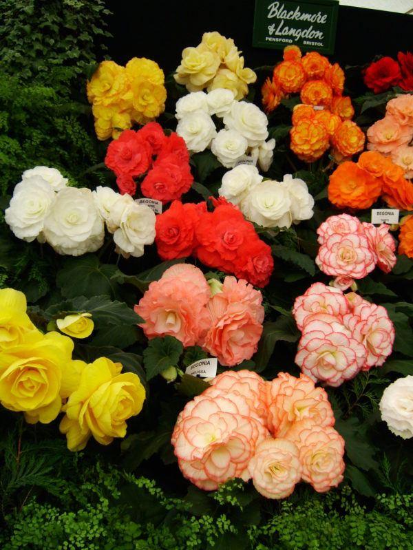 cuales-son-las-flores-del-verano-begonias