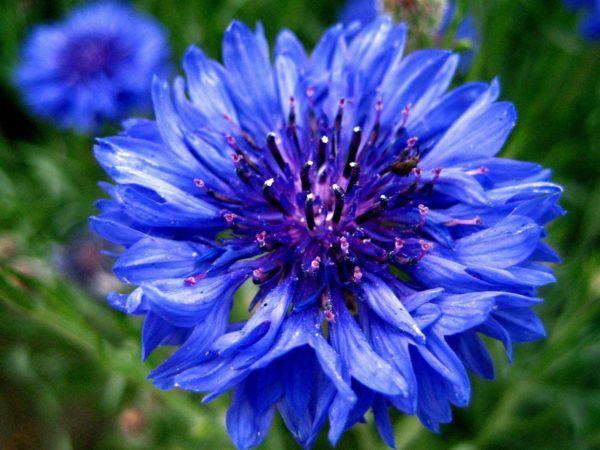 cuales-son-las-flores-del-verano-centaurea