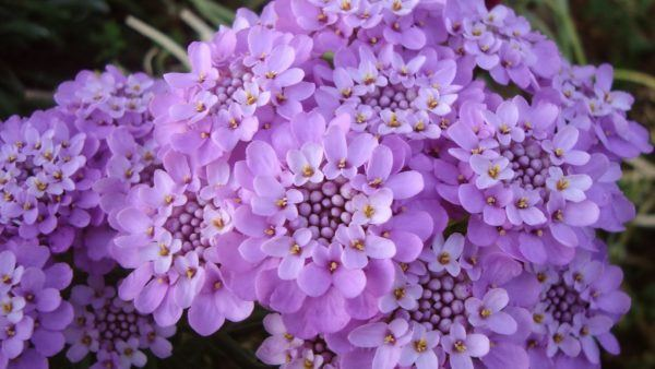 cuales-son-las-flores-del-verano-iberis