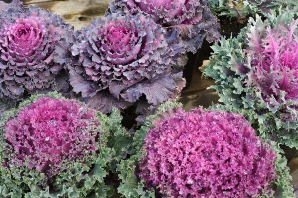 flores-de-invierno-Brassica-oleracea