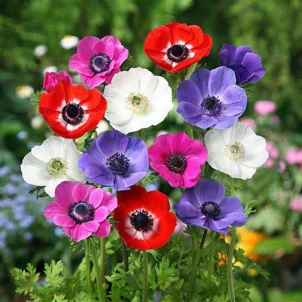 flores-de-primavera-anemonas-de-jardin