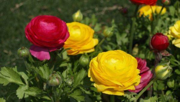 flores-de-primavera-ranunculos