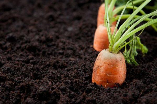 zanahoria-bronceado-natural-raiz