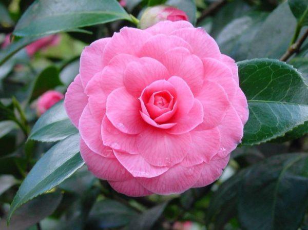 cuales-son-las-flores-de-invierno-Camellia-japonica