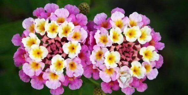 cuales-son-las-flores-de-invierno-lantana