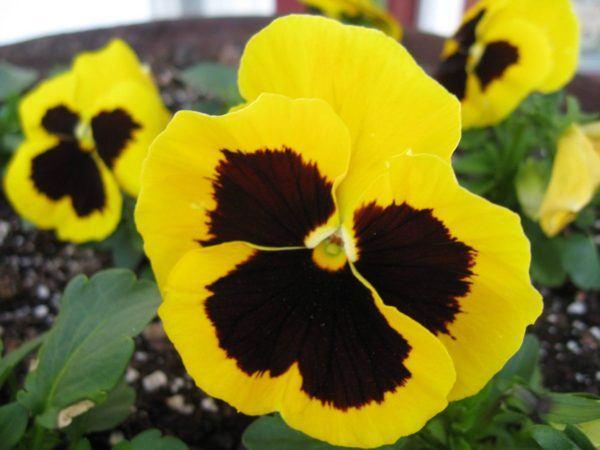 cuales-son-las-flores-de-invierno-pensamiento