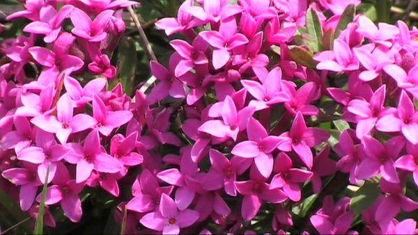 cuales-son-las-flores-de-invierno-torvisco-de-los-pirineos