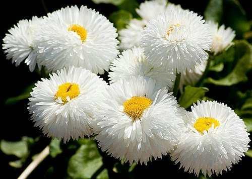 cuales-son-las-flores-de-la-primavera-bellis