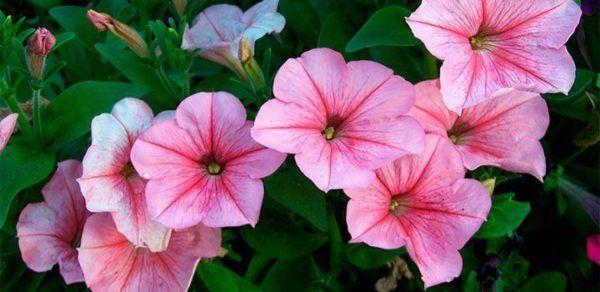 cuales-son-las-flores-de-la-primavera-petunias