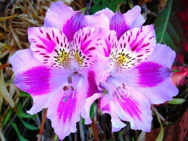 cuales-son-las-flores-de-otoño-Alstroemeria