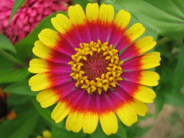 cuales-son-las-flores-de-otoño-zinia-colores