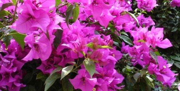 bugambilia-propiedades-y-beneficios-flor