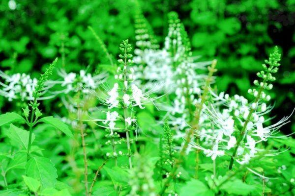 Ortosifon flores