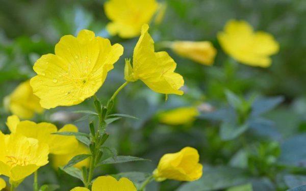 Que es el aceite de onagra flor amarilla