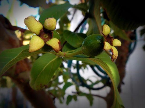 guayaba-propiedades-beneficios-planta
