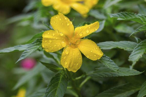 Damiana todos los beneficios y propiedades de esta planta