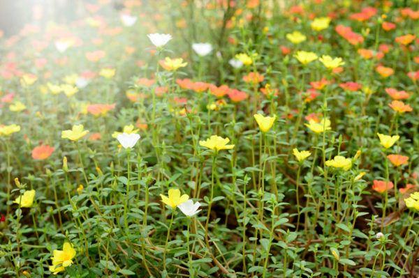 Verdolaga que es beneficios propiedades y como usarla flor