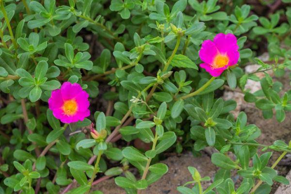 Verdolaga que es beneficios propiedades y como usarla flores