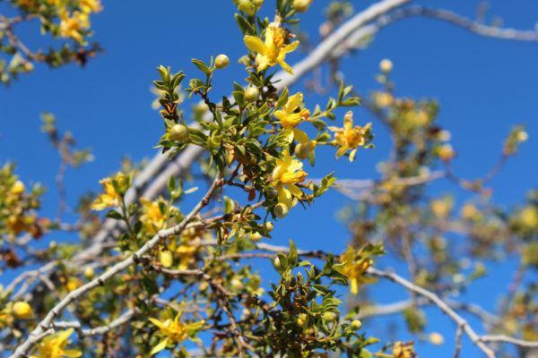 Planta gobernadora beneficios efectos secundarios usos