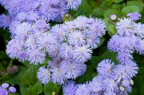 Flores de Otoño –Agerantum