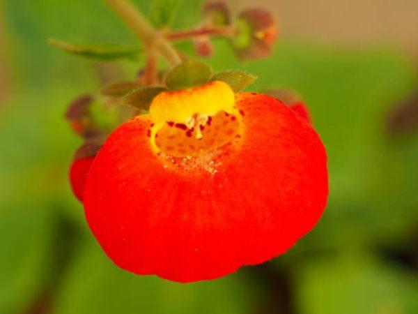 Flores de Otoño –Calceolaria