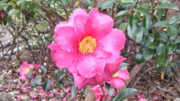 Flores de Otoño – Camelias Sasanqua