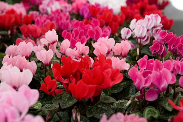 Flores de Otoño –Ciclamen