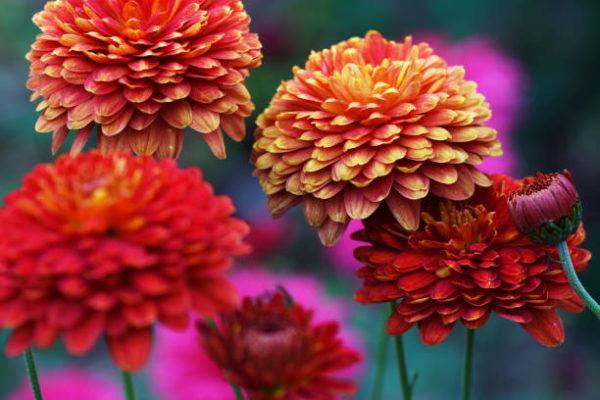 Flores de Otoño– Crisantemos