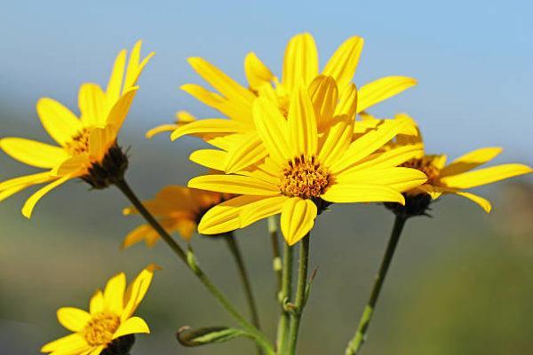 Flores de otoño Alcachofa de Jerusalén 2