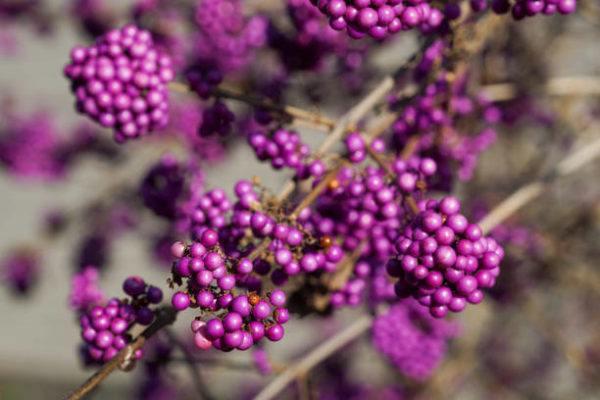Flores de otoño Beautyberry 2