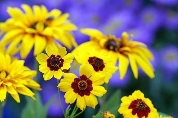 Flores de otoño Heliopsis 2