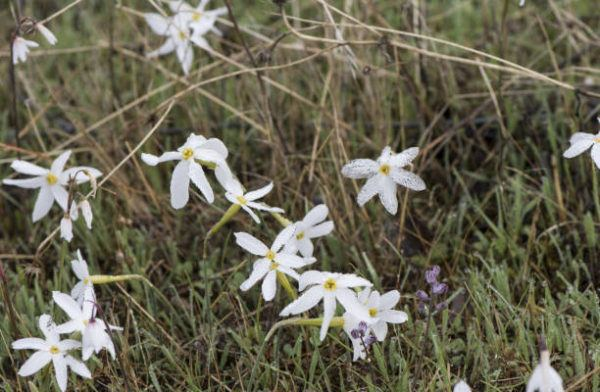 Flores de otoño Narcisos otoñales