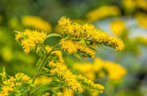 Flores de otoño Solidago 2