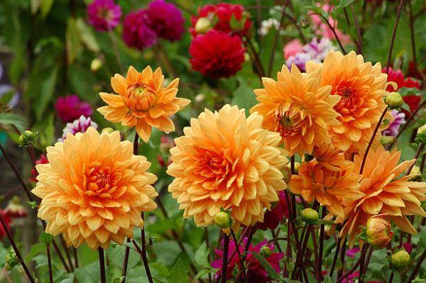 Flores de otoño dalia