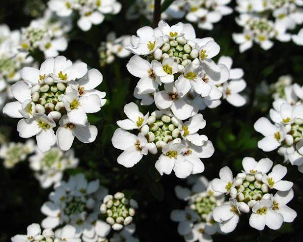 Flores de otoño iberis 1