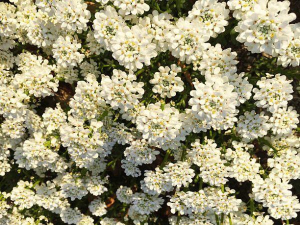 Flores de otoño iberis 2