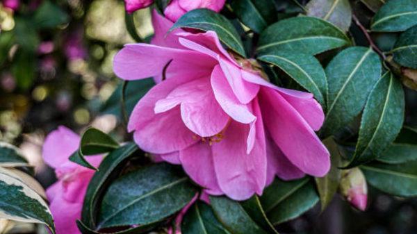 Flores de invierno Camellia sasanqua 1
