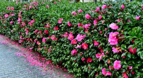 Flores de invierno Camellia sasanqua 2