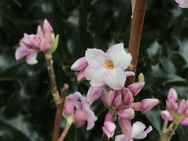 Flores de invierno Daphne Spring Beauty 1