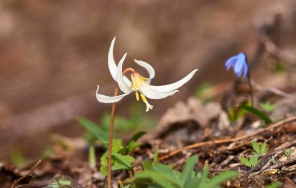 Flores de invierno Erythronium caucasicum 1