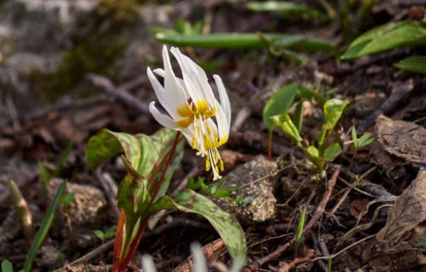 Flores de invierno Erythronium caucasicum 2